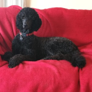Reclined Poodle